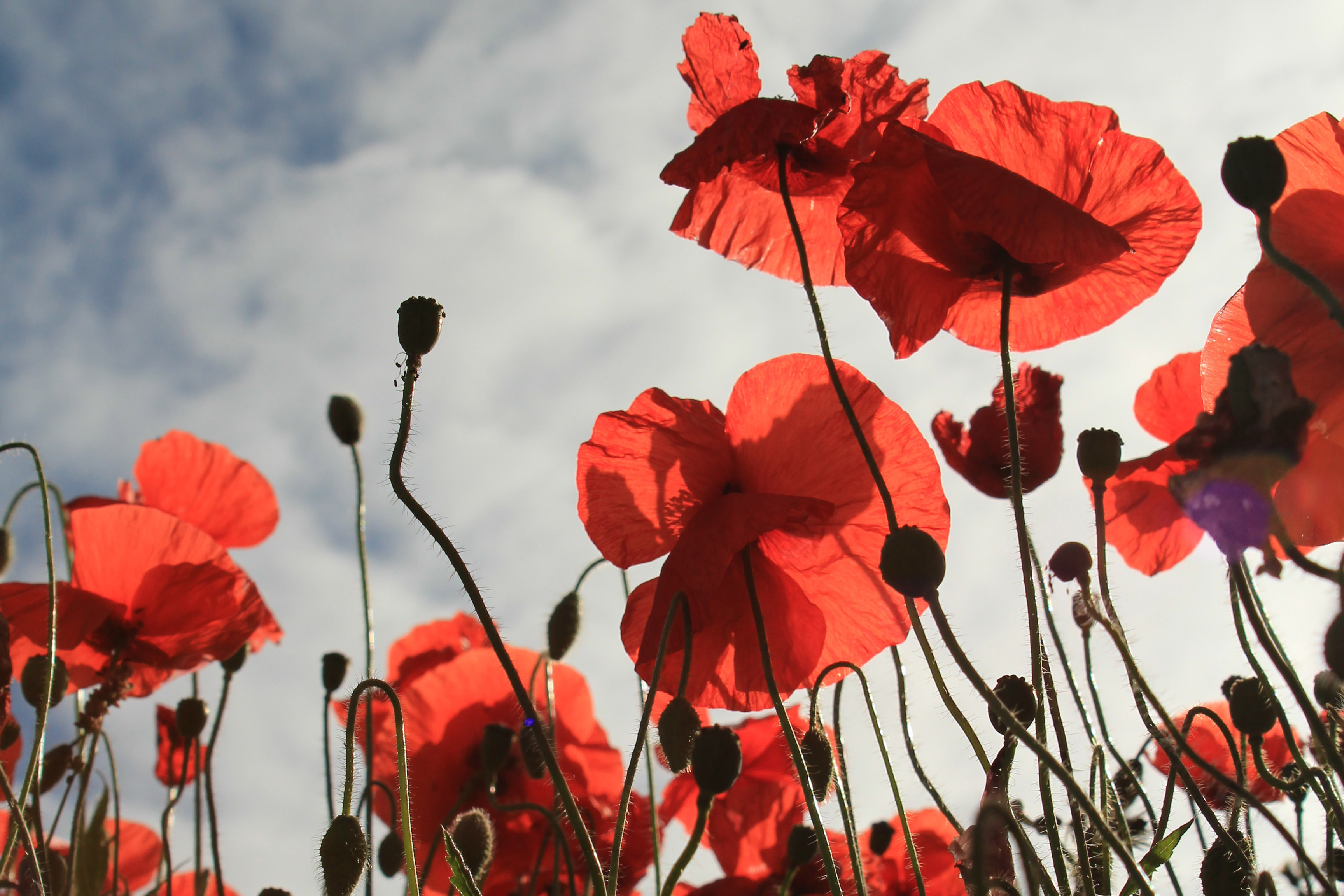 Remembrance Day Red Poppies Blog